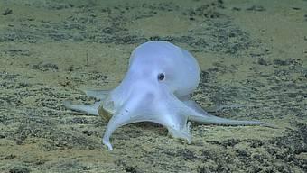 """Den Spitznamen """"Casper"""" erhielt die Kraken-Art aufgrund ihrer Ähnlichkeit zur gleichnamigen Filmfigur eines kleinen Gespenstes."""