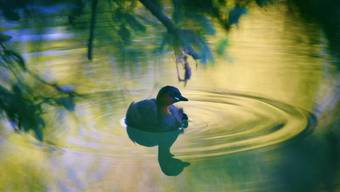 Zwergtaucher sind sehr scheu. Beobachten kann man den Wasservogel in der Heide. Bild: Piera Beretta