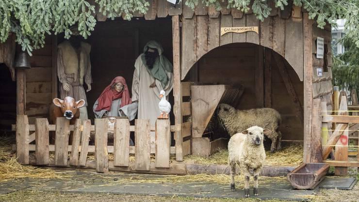 Diese beiden Schafe aus Bellikon sind zurzeit in der Neuenhofer Krippe zu Hause.