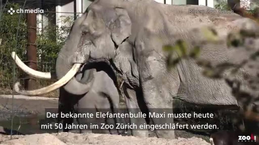 Der Elefantenbulle aus dem Zoo Zürich stirbt mit 50 Jahren