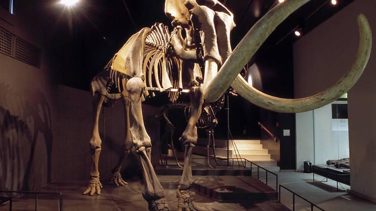 Ein Mammut-Skelett aus der zoologischen Sammlung der Universität Zürich. (Archivbild)