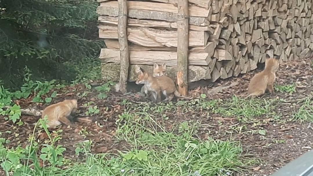 Auf Abstand bleiben: Warum junge Füchse nicht ins Tierheim gehören