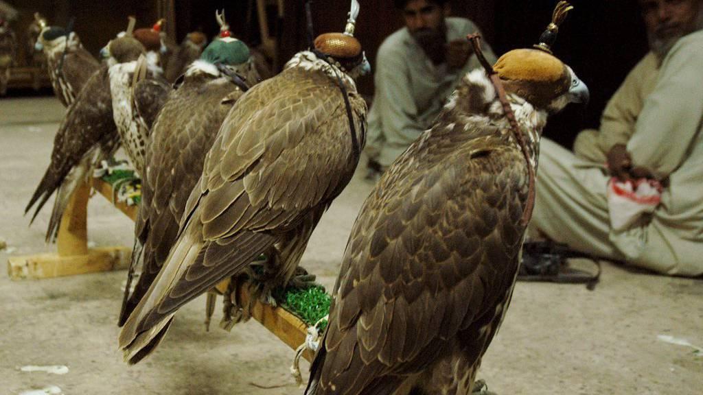 Falken sind in den arabischen Ländern unter anderem für die Jagd sehr begehrt.