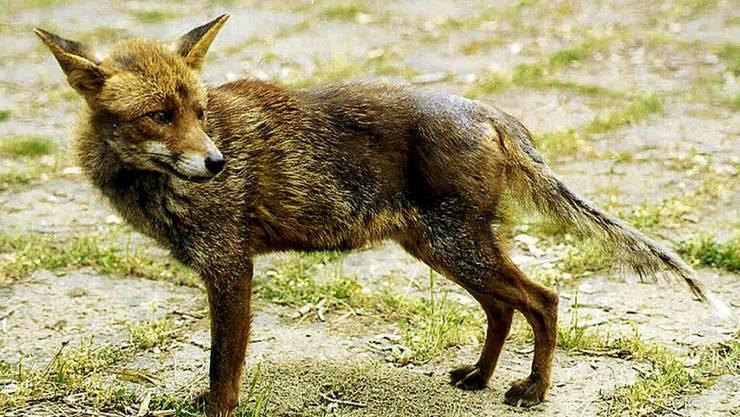Ist ein Fuchs von der Krankheit befallen, äussert sich dies in Haarausfall und einer schwarzen Hautverfärbung am Rücken.