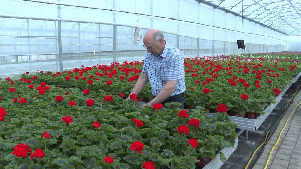 Gärtnereien in der Krise: Bis zu 60 Millionen Franken Verlust