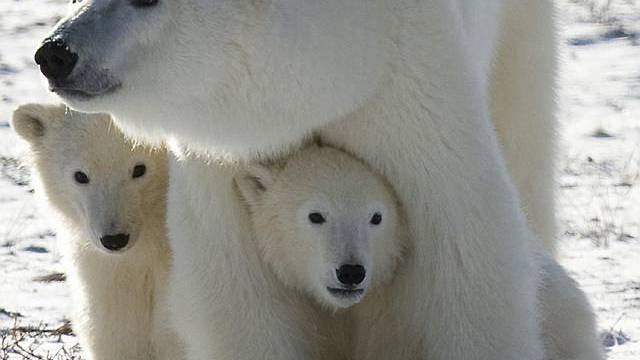 Eisbärfamilie (Archiv)