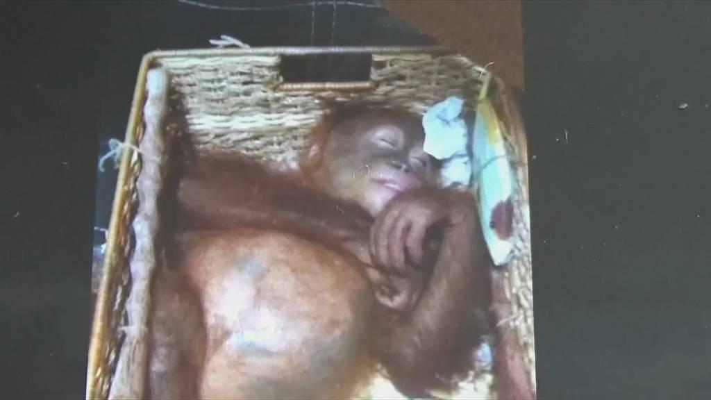 Orang-Utan-Baby vor Schmuggel gerettet