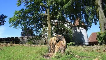 Vom einst stattlichen Ahorn vor dem Burggraben ist nur ein kümmerlicher Stumpf übrig geblieben.