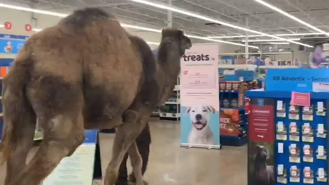Besitzer spaziert mit Kamel in Tierhandlung
