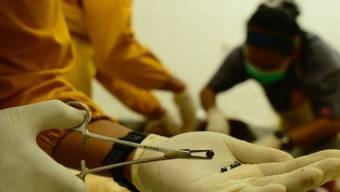 Bei der Obduktion eines auf Borneo getöteten Orang-Utans wurden 130 Luftgewehr-Kugeln im Körper des Tiers gefunden.