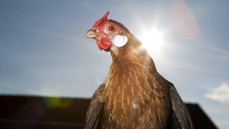 Eigentlich können Legehennen uns Menschen nach ihrer ersten Karriere als Eierlieferantinnen noch als Suppenhuhn eine letzte Freude bereiten. Stattdessen werden sie heute meistens zu Biogas verarbeitet