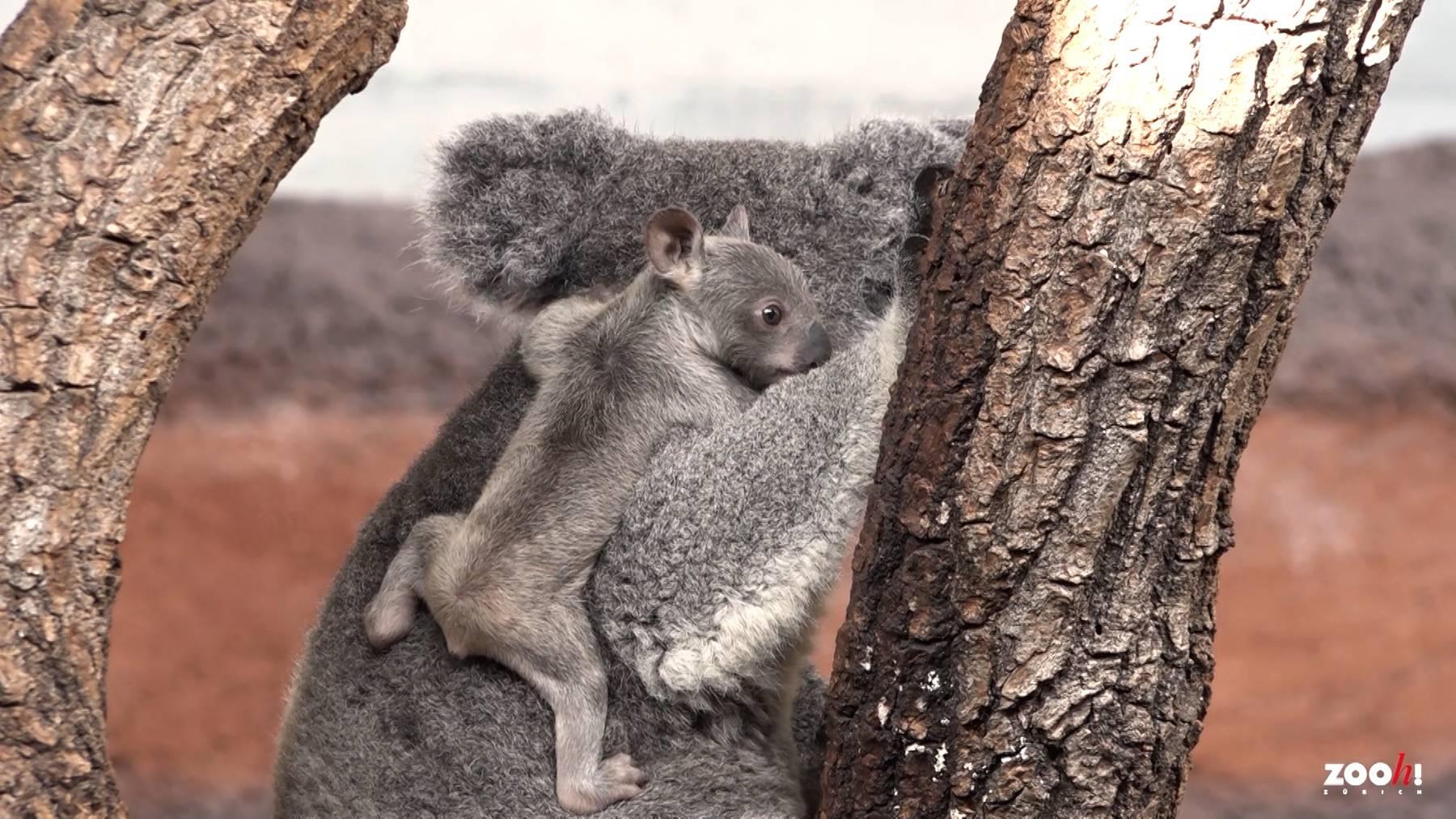 Das erste Koala Baby im Zoo Zürich ist eine kleine Sensation.