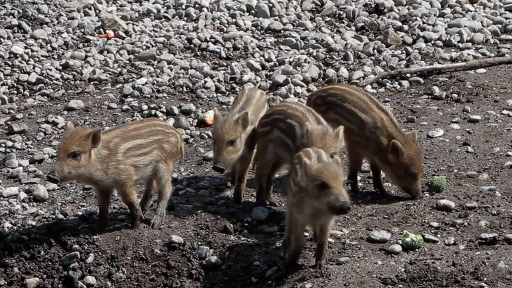 So herzig sind die Wildschweinbabys im Peter und Paul