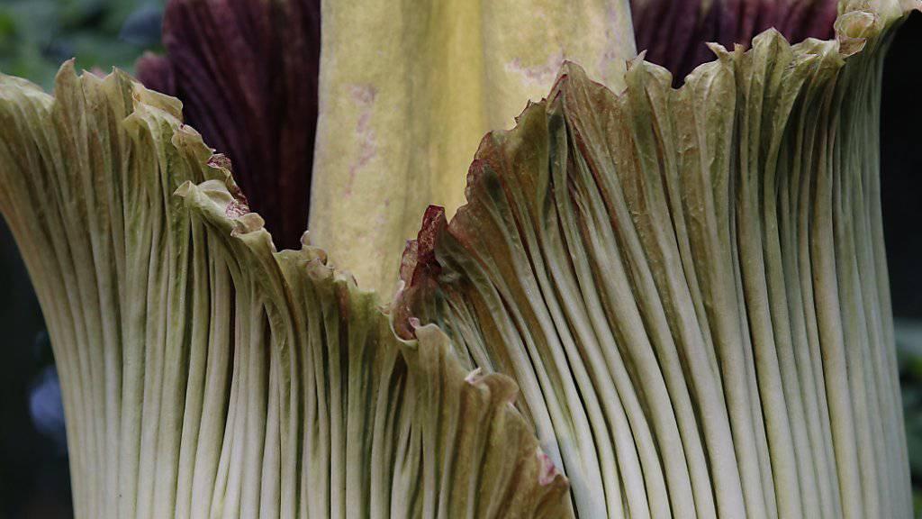 Tausende bestaunen Stinkpflanze in New York. (Archivbild)