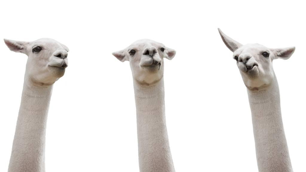 (Symbolbild) Lamas rannten durch die Strassen von Winterthur.