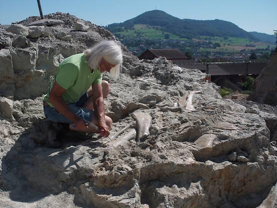 Rund acht Meter lang ist das Skelett des Plateosauriers, das Paläontologe Ben Pabst mit seinem Grabungsteam in Frick AG freilegte.