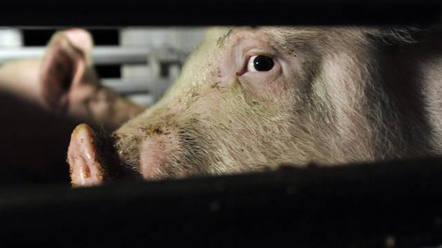 Schweizer Tierschützer befürchten, dass sich die Haltungsbedingungen von Nutztieren verschlechtern (Symbol)
