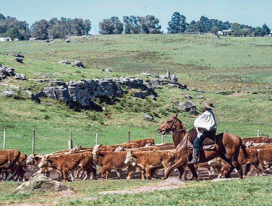 Dreimal mehr Rinder als Einwohner soll es in Uruguay geben.