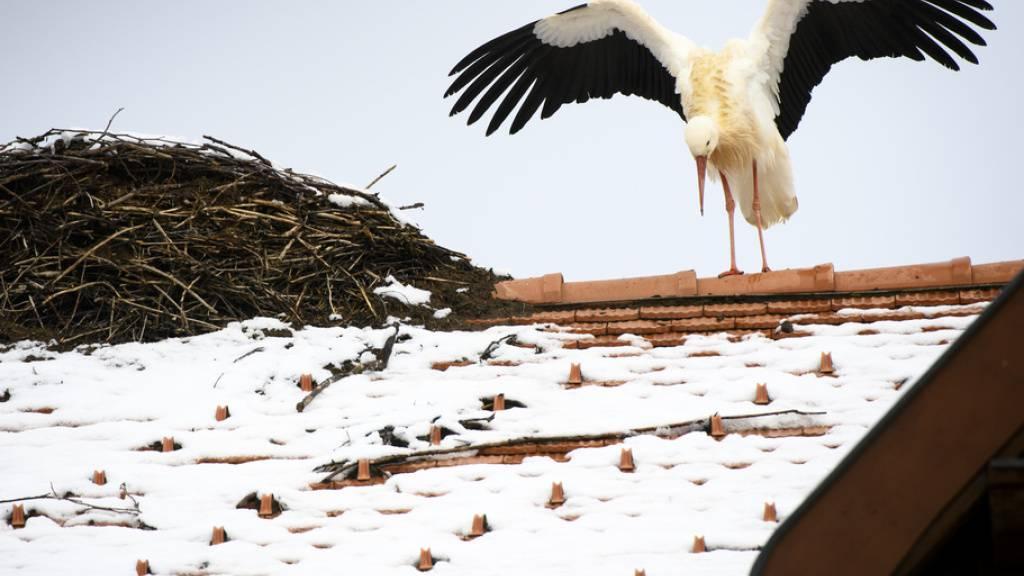 In der Westschweiz ist bislang Avenches VD mit rund 40 Storchpaaren die grösste Kolonie.