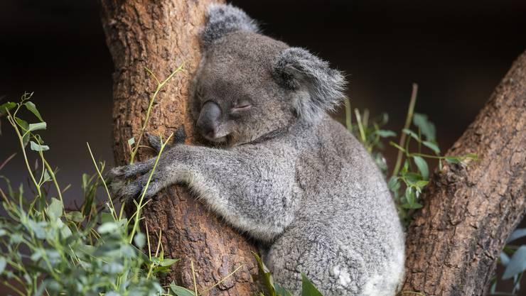 Koala-Weibchen Maisy ist an ihrem dunkleren Gesicht zu erkennen.