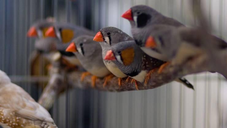 Junge Zebrafinken-Männchen imitieren den Gesang eines ausgewachsenen Finken, um später Weibchen anzulocken.