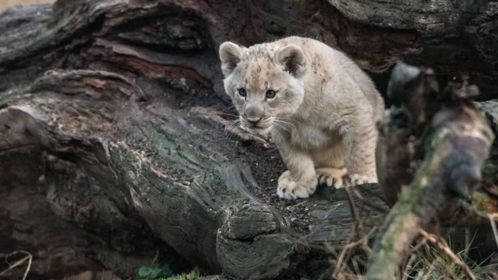 Eines der beiden im Dezember geborenen Löwenbabys erkundet neugierig die Aussenlage im Zoo Basel.