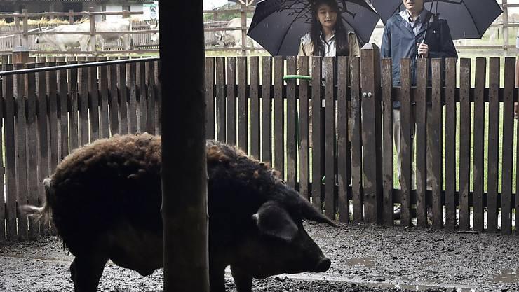Nichts geht im Urlaub über die Besichtigung der einheimischen Fauna: Prinz Akishino und seine Tochter Mako haben sich am Wochenende während ihrer Ungarn-Ferien ein seltenes Wollschwein angesehen.
