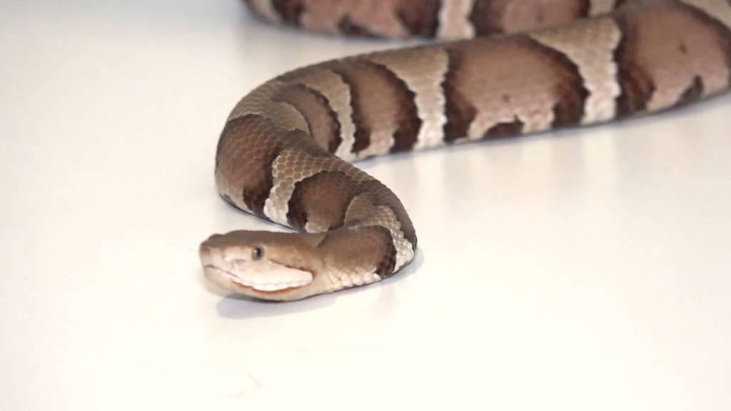 Schwangerschaftskontrolle bei Giftschlangen: Nicht ungefährlich!