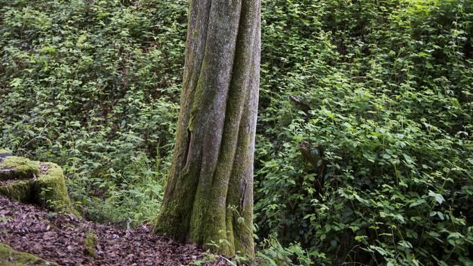 Dringlichen Handlungsbedarf hat der Forstdienst am Vorberg ausgemacht, wo bis zu 30 Meter hohe Buchen in den Himmel ragen. (Symbolbild)