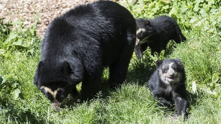 Die im Januar im Zoo Zürich geborenen Brillenbären-Zwillinge haben ihre Wurfbox verlassen und erkunden mit ihrer Mutter die Aussenanlage.