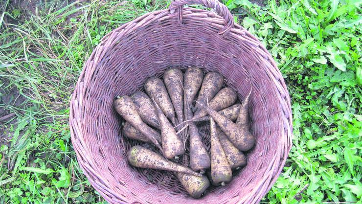 «Küttiger Rüebli» sind eine alte, robuste Schweizer Karottensorte, die ursprünglich aus dem Aargauer Dorf Küttigen stammt.