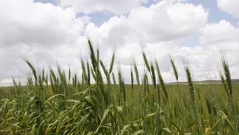 Die meisten Verschmutzungen betreffen Getreide-Samen (Archiv)