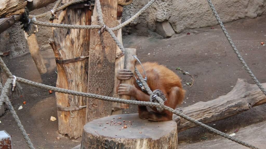 Zum Nussknacken nutzen Orang-Utans spontan einen Holzhammer