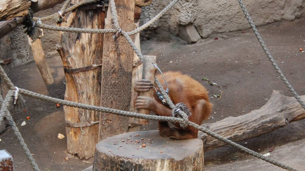 Ein Orang-Utan-Weibchen im Leipziger Zoo knackte auch noch nach Abschluss der Studie Nüsse mit Holzhämmer.