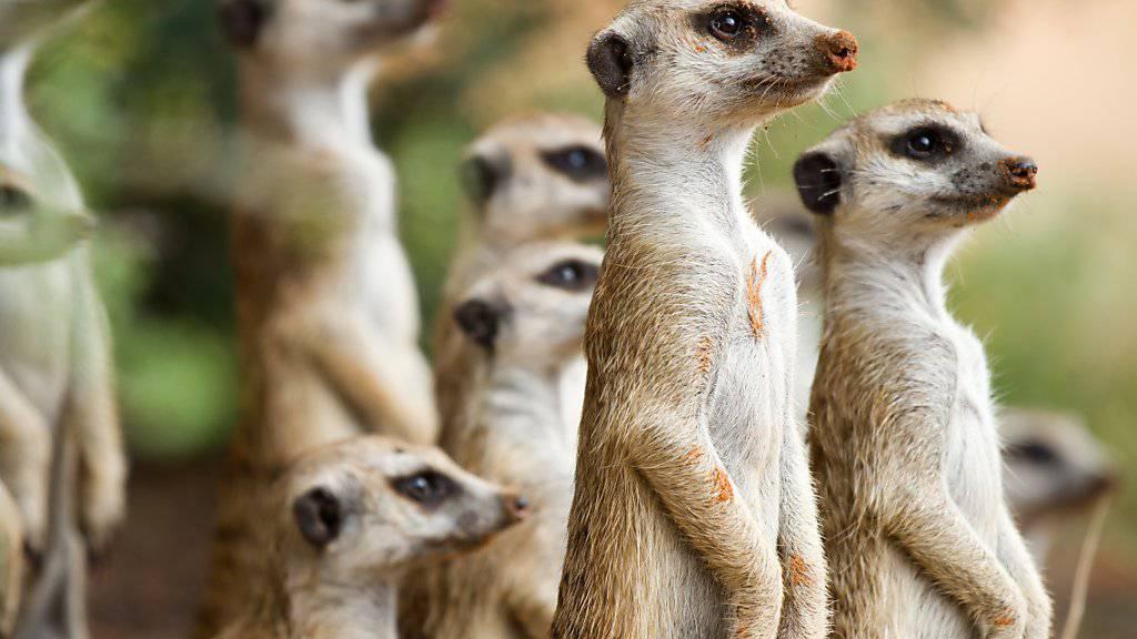 Erdmännchen sind zwar an harsche Bedingungen in der Wüste gewöhnt, die Folgen des Klimawandels könnten sie jedoch in Bedrängnis bringen.