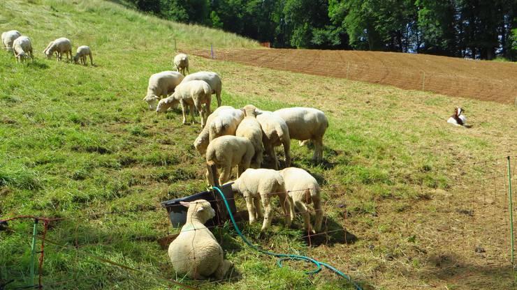 Auch die Schafe geniessen den letzten tag vom Monat Mai.
