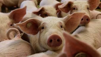 Als die Schweine geliefert werden, kommt es zum Streit. (Symbolbild)
