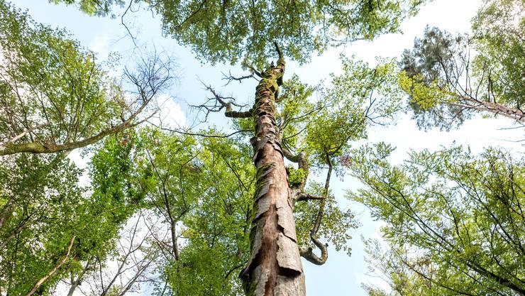 Der Zustand des Aargauer Waldes sei besorgniserregend, schreibt die Aargauer Regierung in der Antwort auf ein Postulat.