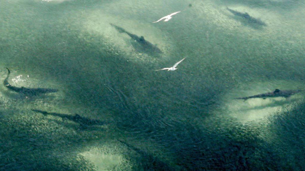 Drohnen sollen in Australien Haie in Strandnähe aufspüren und Schwimmer warnen. (Symbolbild)