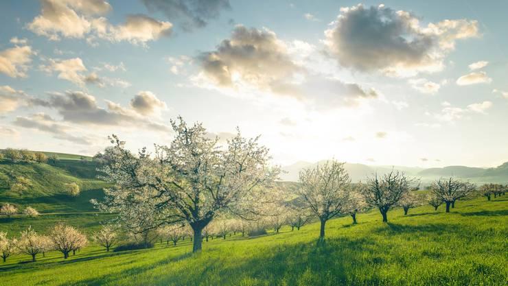 Der Jurapark Aargau erhält positive Resonanz auf seine Aktivitäten zur Förderung einer nachhaltigen Landschaftsentwicklung – hier blühende Kirschbäume im Park-Gebiet.