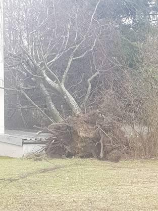 Heftige Winde rissen um 10 Uhr morgens diesen Baum in Wohlen um.