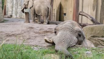 Elefantenbulle Jack könnte im Zolli nicht für Nachwuchs sorgen.