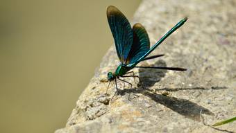 Dank grossflächigen Aufwertungen gibt es an der Stillen Reuss heute rund 30 verschiedene Libellen-Arten, während es im Jahr 1999 nur noch rund 15 waren.