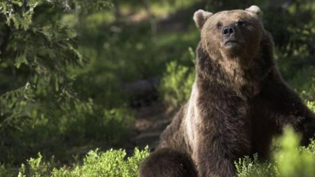 Bräunbären wie M13 weichen den Menschen aus, aber nicht den Leckereien, die sie bei ihnen finden. Foto: ho