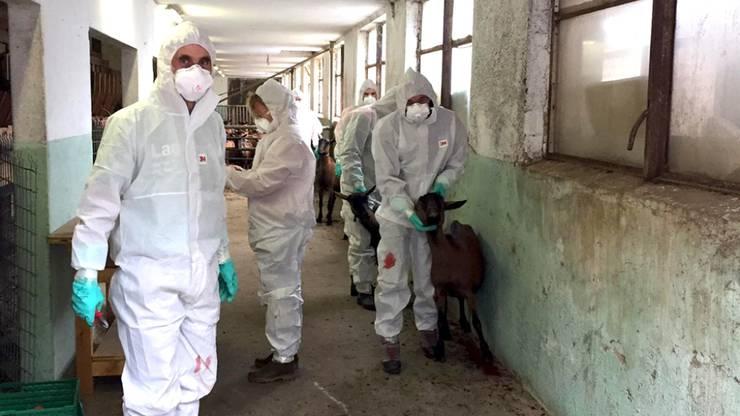 Neben Mitarbeitenden des ALT und dem örtlichen Tierarzt standen auch 15 Zivilschutz-Seuchenwehrpioniere des Amts für Militär und Zivilschutz während drei Tagen im Einsatz, um den Bestand zu räumen und die Stallungen zu reinigen und desinfizieren.