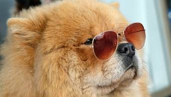 Eine alterslose Chow-Chow-Dame. Wer das Alter seines Hundes in menschliche Lebenszeit umrechnet, nimmt das Alter mal sieben. Falsch, sagen Forscher, denn Hunde altern nicht linear. Zum Glück gibt es aber eine Umrechnungs-Formel (Archivbild)
