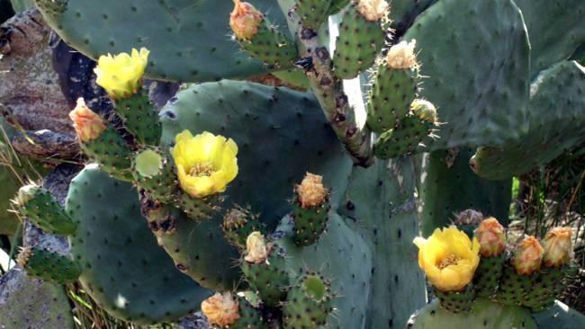 Kaktusfeigen oder Fico d'India, wie die Italiener sagen, sieht man hier als ganze Hecken.