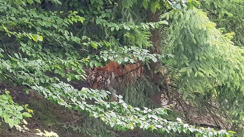 Nach Tigerattacke: Waffeneinsatz hätte keinen Sinn ergeben