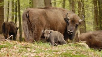 Eine Bewilligung ist beim Wisent-Verein eingetroffen und zwar jene zur Wildtierhaltung. (Archivbild)