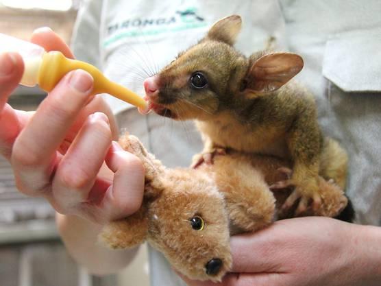 Klar: In Australien bekommen Babys Kängurus, keine Teddys.